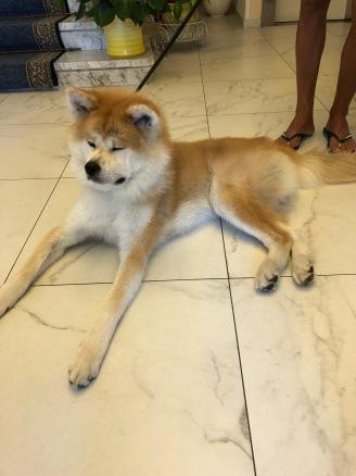 Grappolo d'oro, Humo il cane giaponese
